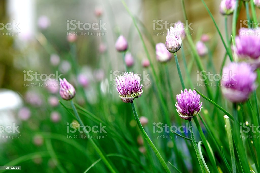 Chives flowers royalty-free stock photo