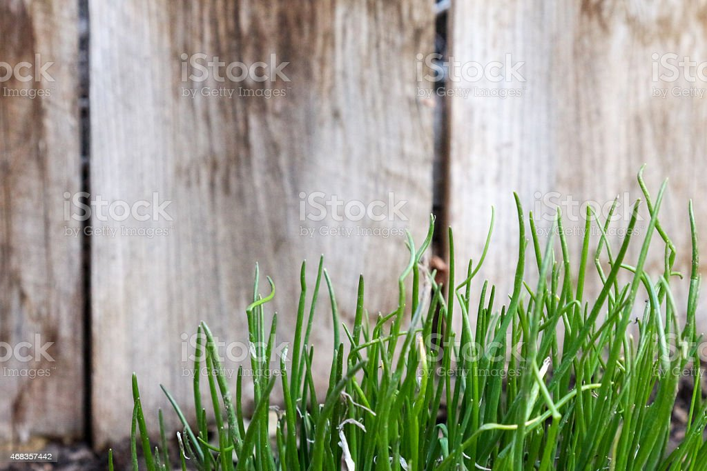 Chives growing by a Fence royalty-free stock photo