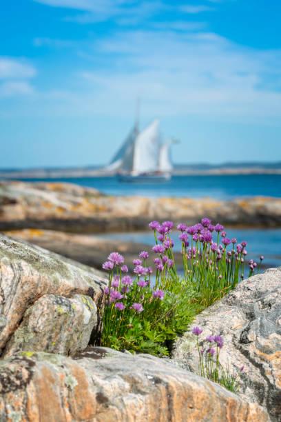 gräslök i blom vid havet - bohuslän nature bildbanksfoton och bilder