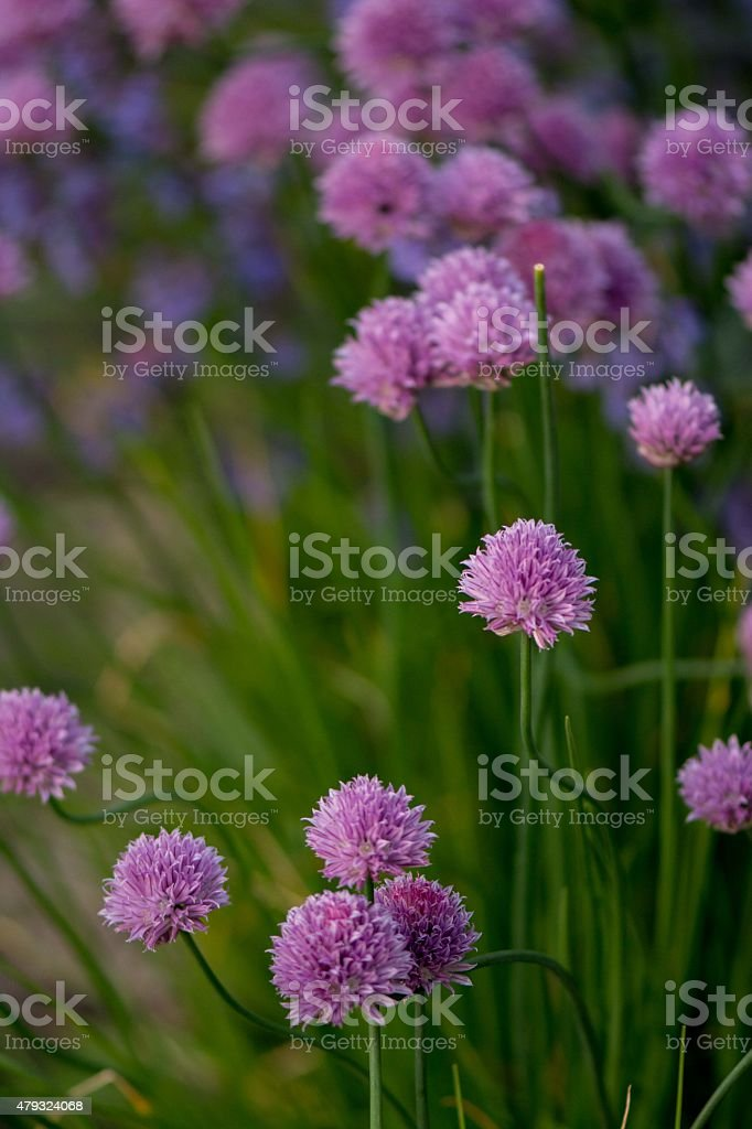 Chives in bloom stock photo