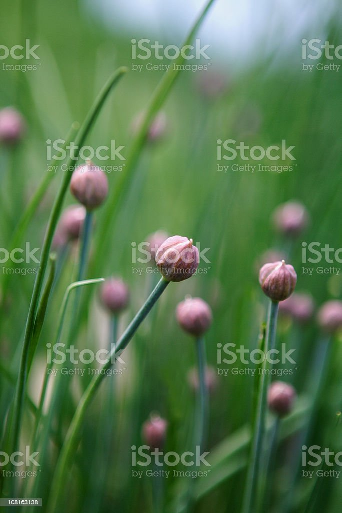 Chives in Field royalty-free stock photo