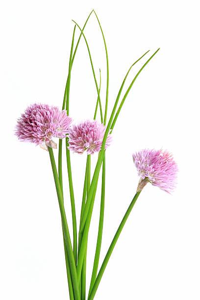 Schnittlauch (Allium schoenoprasum) – Foto
