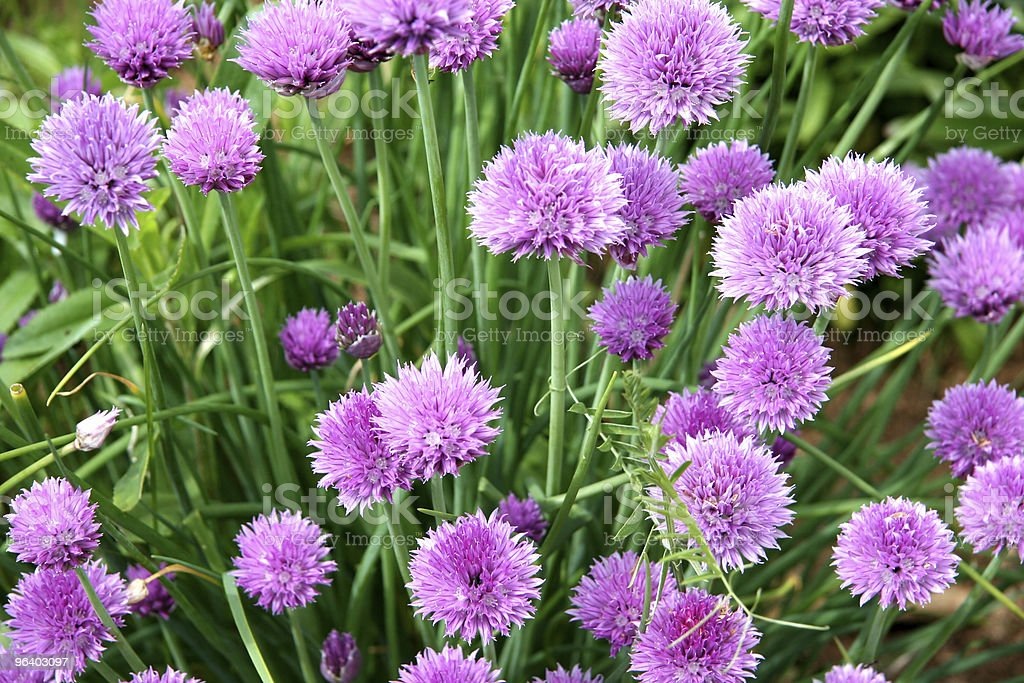 Chives - Royalty-free Beauty Stock Photo