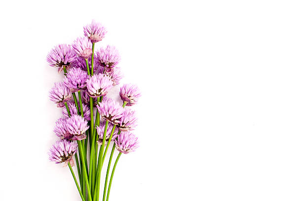Chives pink flowers on white background foto