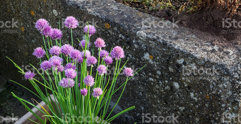 Chives, bunch of purple alium flowers, growing in salad box / herb...