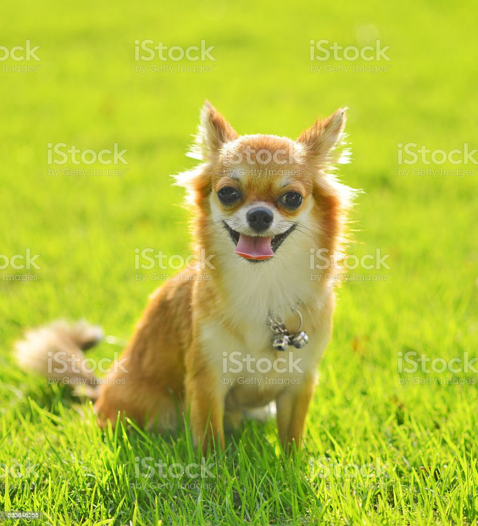 Chiwawa Dog On Grass In Park Stock Photo Download Image Now Istock