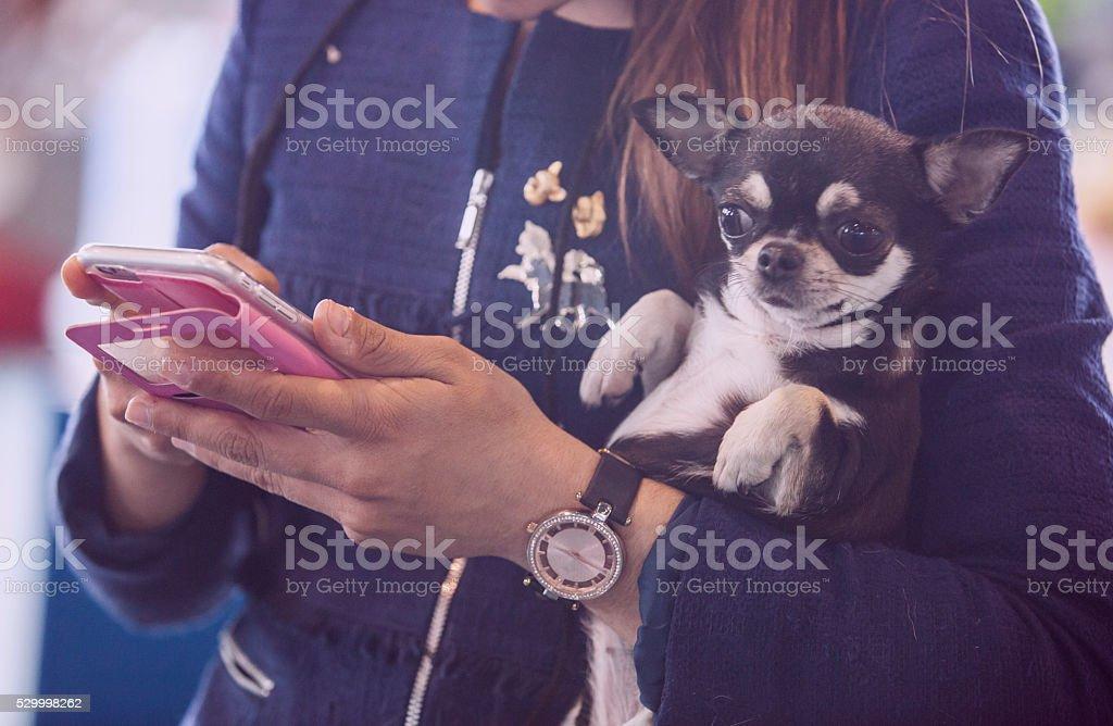 Chiwawa dog over woman arms stock photo