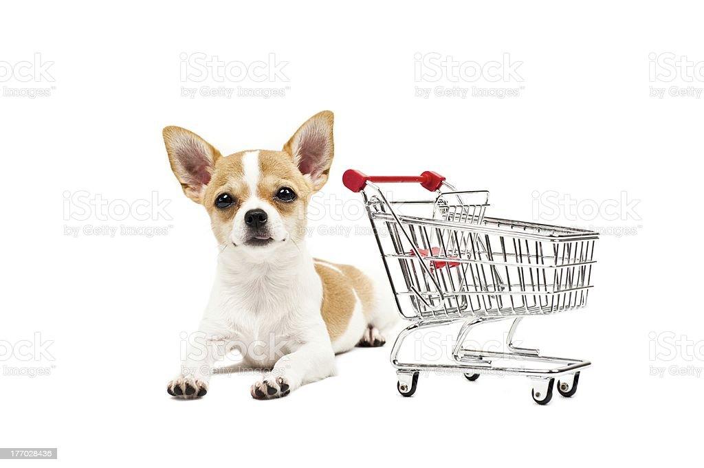 Chiwawa dog royalty-free stock photo