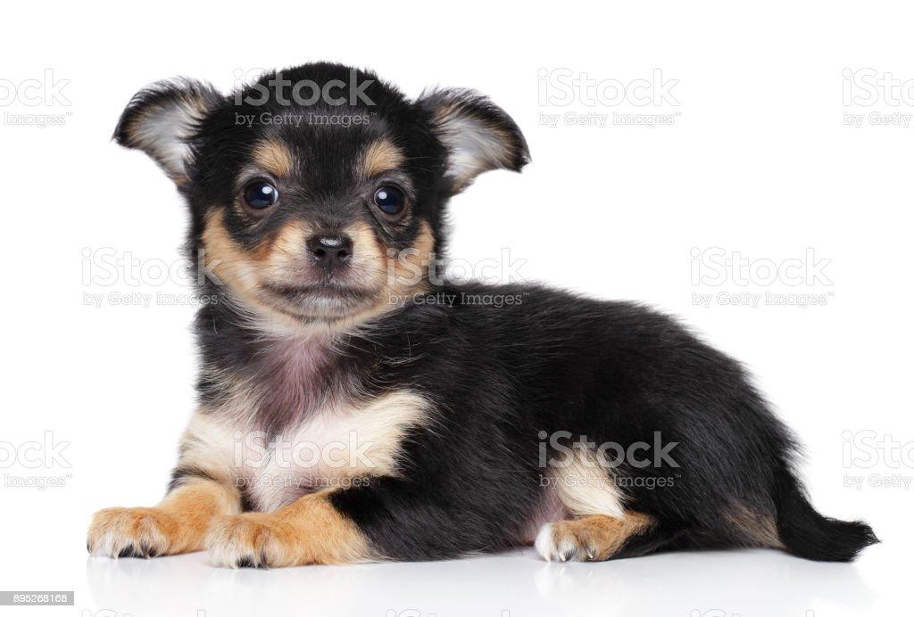 Chiwawa puppy lying stock photo