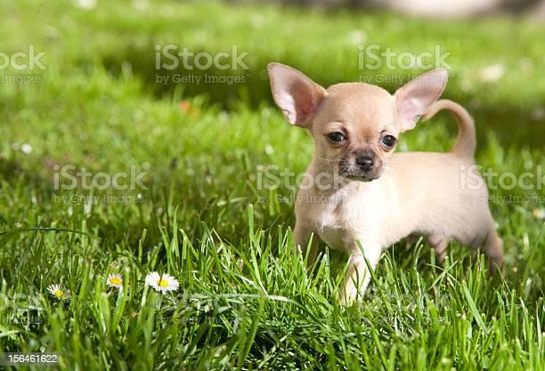 Chiwawa puppy picture id156461622?b=1&k=6&m=156461622&s=612x612&h=pu00o0kvzoslnwdqrauvtx tt9a68uybfdvxvekkfxo=