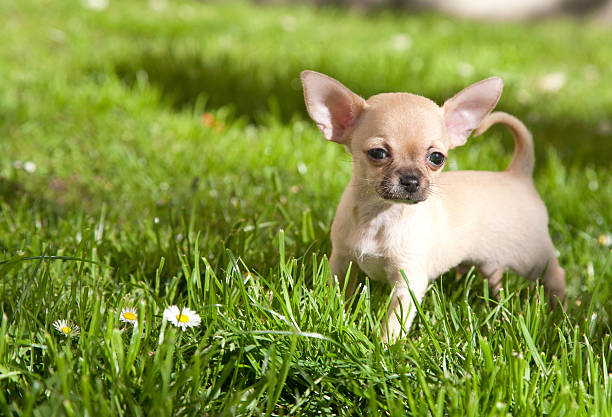 chiwawa chiot - chihuahua chien de race photos et images de collection