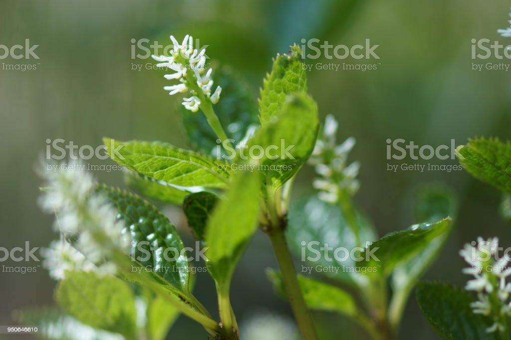 Chloranthus japonicus stock photo