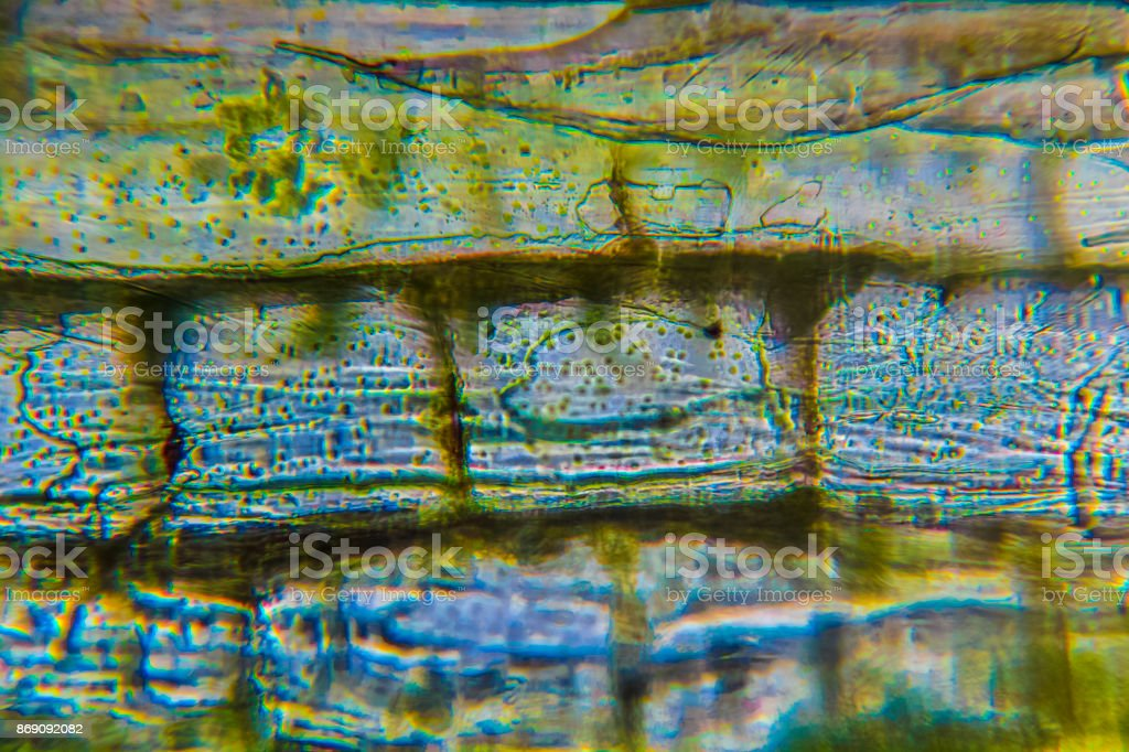 Chlorophyll in Blattzellen stock photo