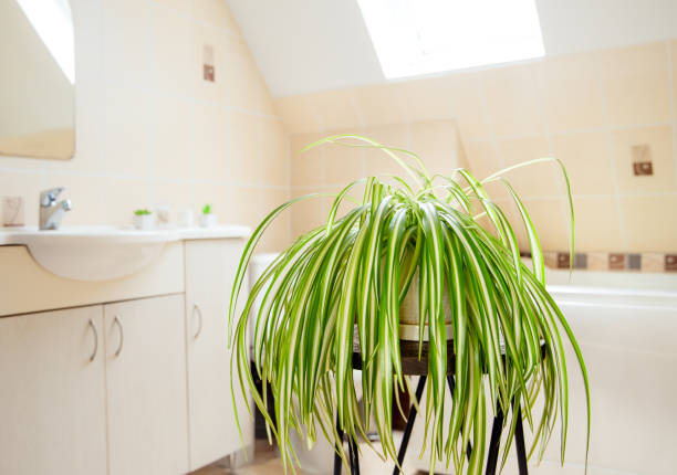 Chlorophytum comosum, called spider plant or airplane plant growing in white pot in bright white bathroom. Great air purifying plant. Chlorophytum comosum, called spider plant or airplane plant growing in white pot in bright white bathroom. Great air purifying plant. chlorophytum bathroom stock pictures, royalty-free photos & images