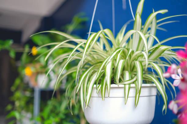 chlorophytum comosum, spinnenpflanze in weißem hängetopf / korb, luftreinigende pflanzen für zu hause, indoor-zimmerpflanze - poison ivy pflanzen stock-fotos und bilder