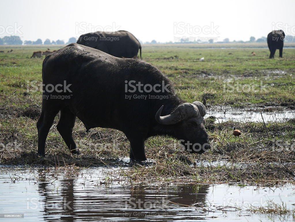Chobe National Park(buffalo) royalty-free stock photo