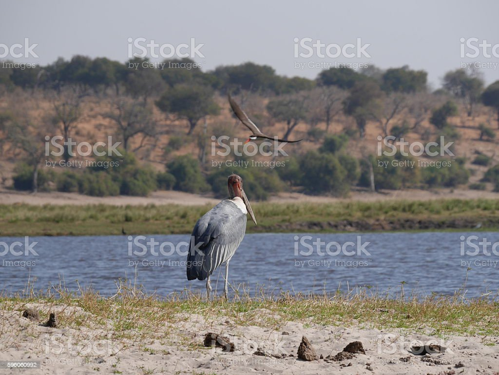 Chobe National Park(marabou stork) royalty-free stock photo