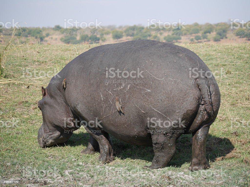 Chobe National Park(hippo) royalty-free stock photo