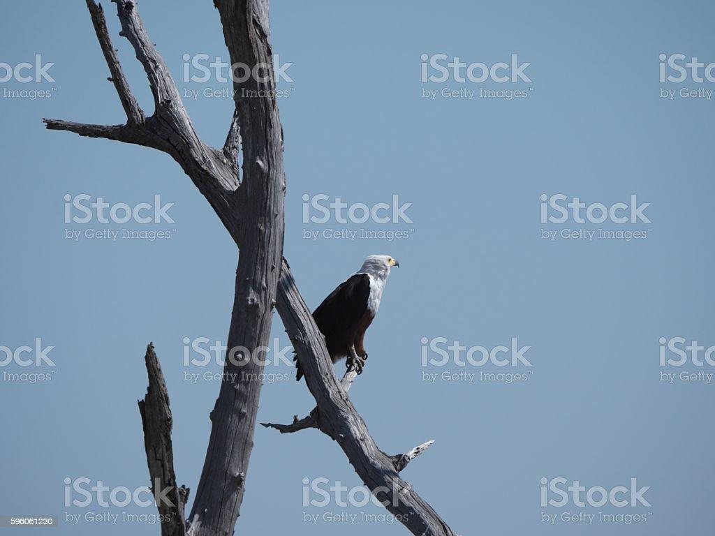Chobe National Park(fish eagle) royalty-free stock photo