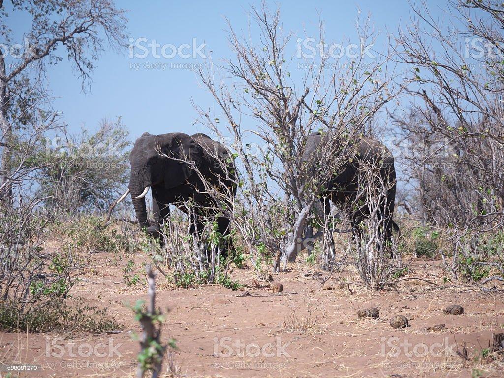 Chobe National Park(elephant) royalty-free stock photo