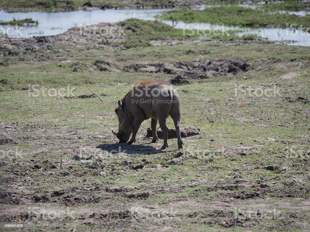 Chobe National Park(warthog) royalty-free stock photo