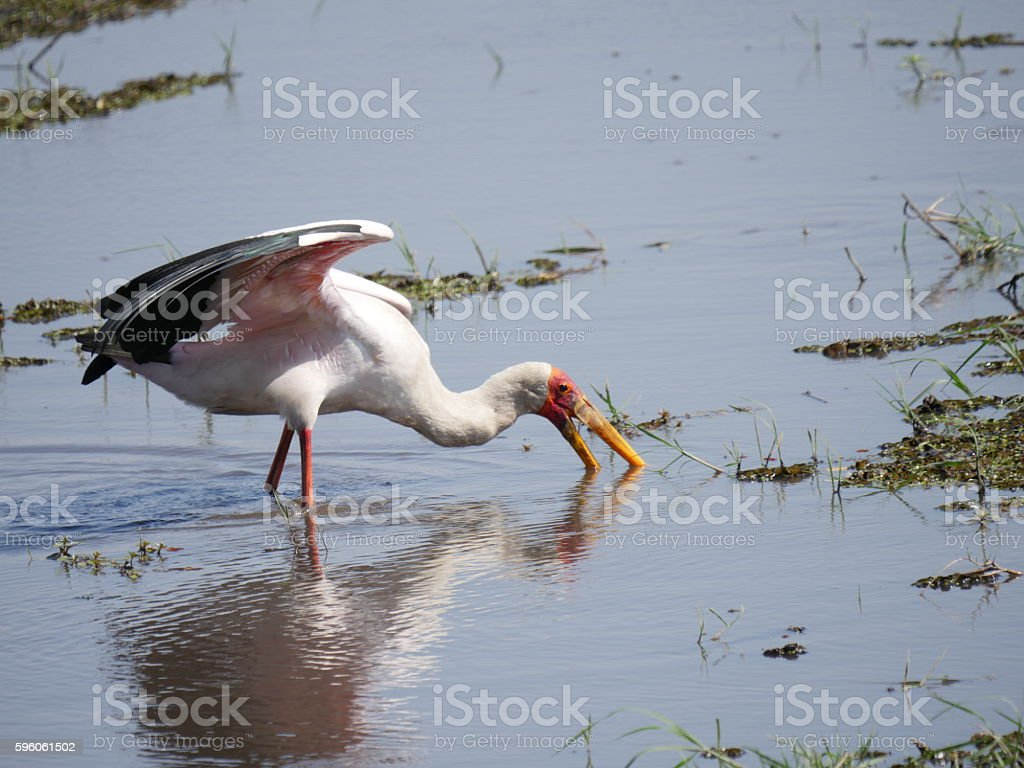 Chobe National Park(black-winged stilt) royalty-free stock photo