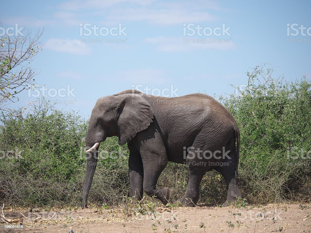Chobe National Park(elephant) royalty-free stock photo