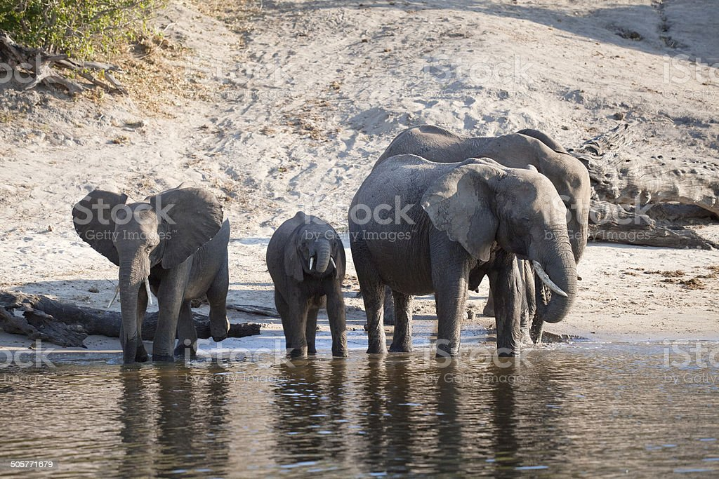 Chobe River elephants stock photo