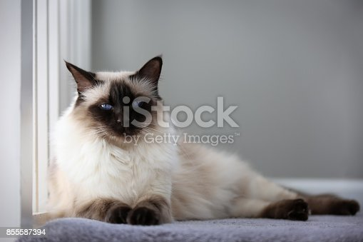 Portrait of an apple-headed chocolate Balinese cat.