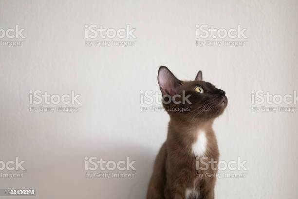 Chocolate brown cat is looking at something upon ceiling in future picture id1188436325?b=1&k=6&m=1188436325&s=612x612&h=eejtf nf1c20opv348aqxacwzl5dj5l27f n9qzqc5q=