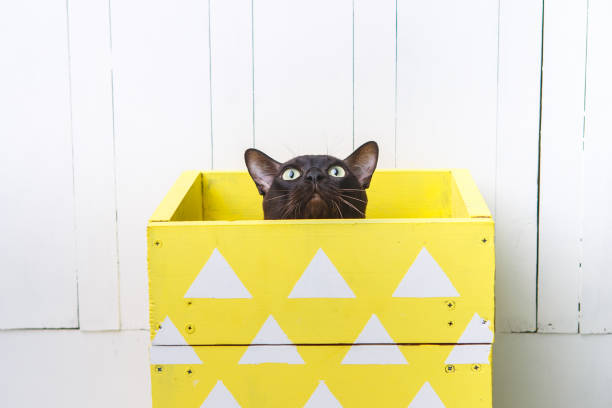 Chocolate brown color european burmese cat peeking out of a yellow picture id1138245512?b=1&k=6&m=1138245512&s=612x612&w=0&h=lip2kfwxeir8haua22ykujed7y25o gbzmwzp6urk a=