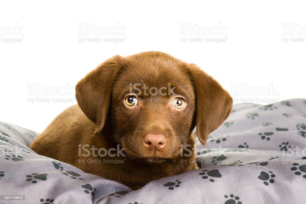 Chocolate Brown Labrador Puppy On A Gray Pillow Looking Cute Stock Photo Download Image Now Istock