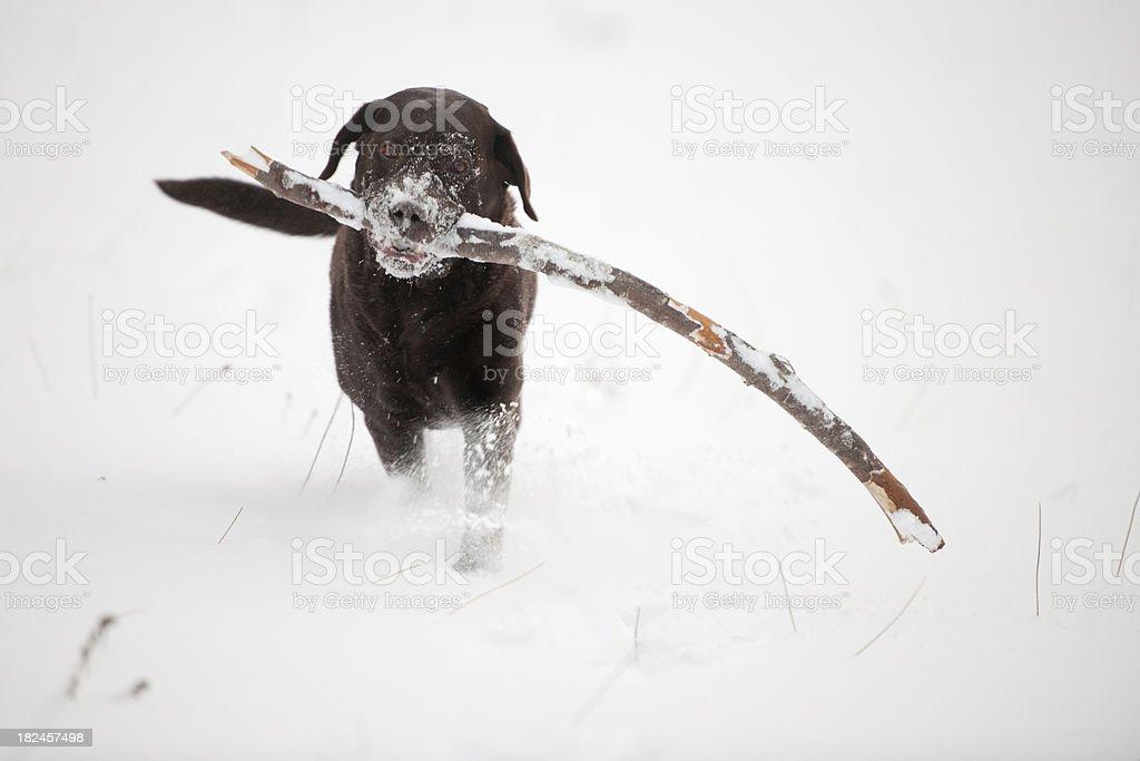 Chocolate Brown Labrador retrieving a stick in the Snow (XXXL) stock photo