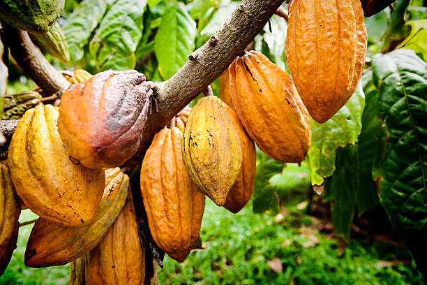 chocolate cacao fruit tree in cultivated farm - cacaovrucht stockfoto's en -beelden