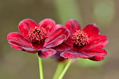 Cosmos atrosanguineus, commonly called chocolate cosmos, is a tuberous-rooted perennial that features brownish-red (or dark purple) flowers with a chocolate scent atop slender stems from summer to autumn. It is also commonly called black cosmos.