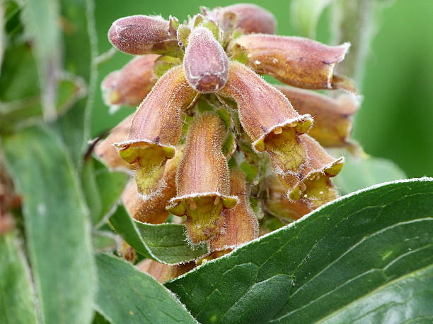 chocolate, digitalis parviflora Erva-dedal - foto de acervo