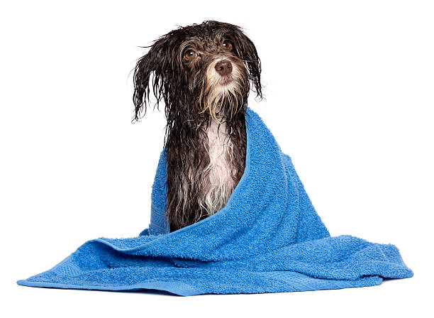 Chocolate havanese puppy dog soaking wet with blue towel picture id160591849?b=1&k=6&m=160591849&s=612x612&w=0&h=uzeeow4aqnzur14wxuqc0fqksw1grhfpxhtb5ledp08=