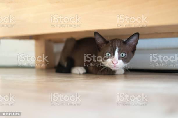 Chocolate kitten cat is hiding under wooden table to keep watching picture id1083390082?b=1&k=6&m=1083390082&s=612x612&h=ruofqzhcwovtdu3es4ks9z3a2x178lbwxcldge750dm=