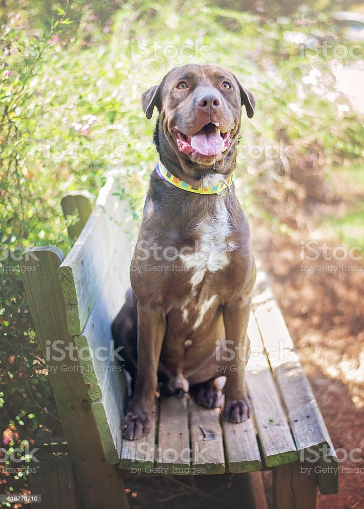 Chocolate Lab Mix in Shelter stock photo