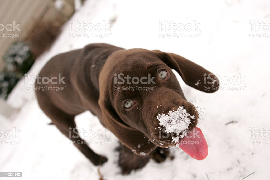 Chocolate Lab Playing in the Snow stock photo