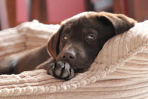 chocolate lab puppy laying on pillow - katzen kissen stock-fotos und bilder
