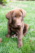 Chocolate Lab puppy sitting outside