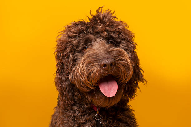 Chocolate Labradoodle portrait photographed in studio on Yellow background A portrait of a brown, chocolate labradoodle photographed in the studio against a yellow background.  A Labradoodle is a mixed-breed dog created by crossing the Labrador Retriever and the Standard or Miniature Poodle. animal tongue stock pictures, royalty-free photos & images