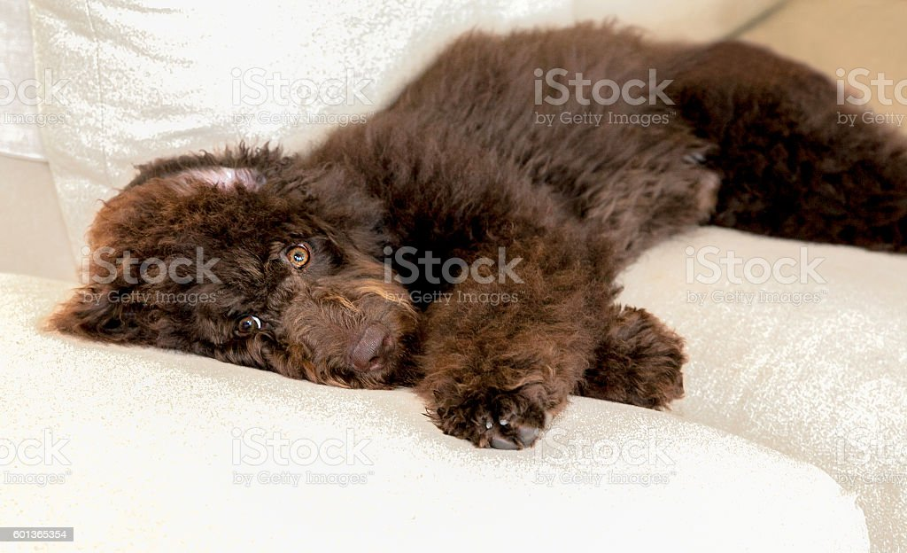 Chocolate labradoodle puppy dog lays flat on the couch stock photo