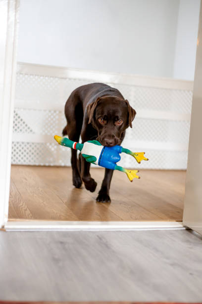 Chocolate labrador 1 year old playing at home stock photo