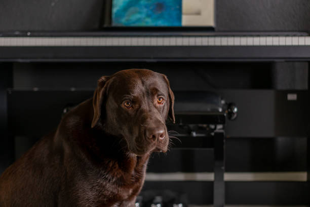 Chocolate labrador 1 year old sitting in front of piano in living room stock photo