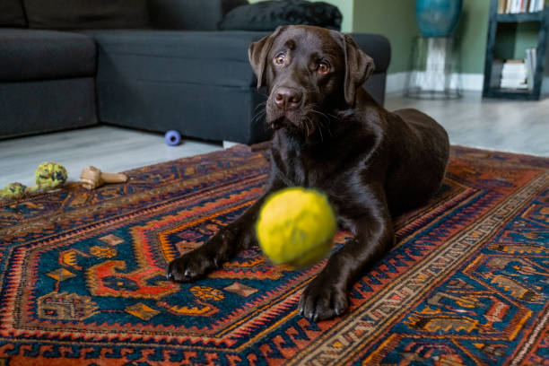 Chocolate labrador dog playing in the house stock photo