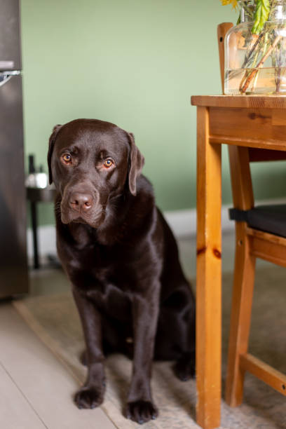 Chocolate labrador dog sitting on floor and holding a yellow flower stock photo