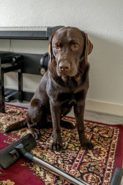 Chocolate labrador dog watching vacuum cleaner stock photo