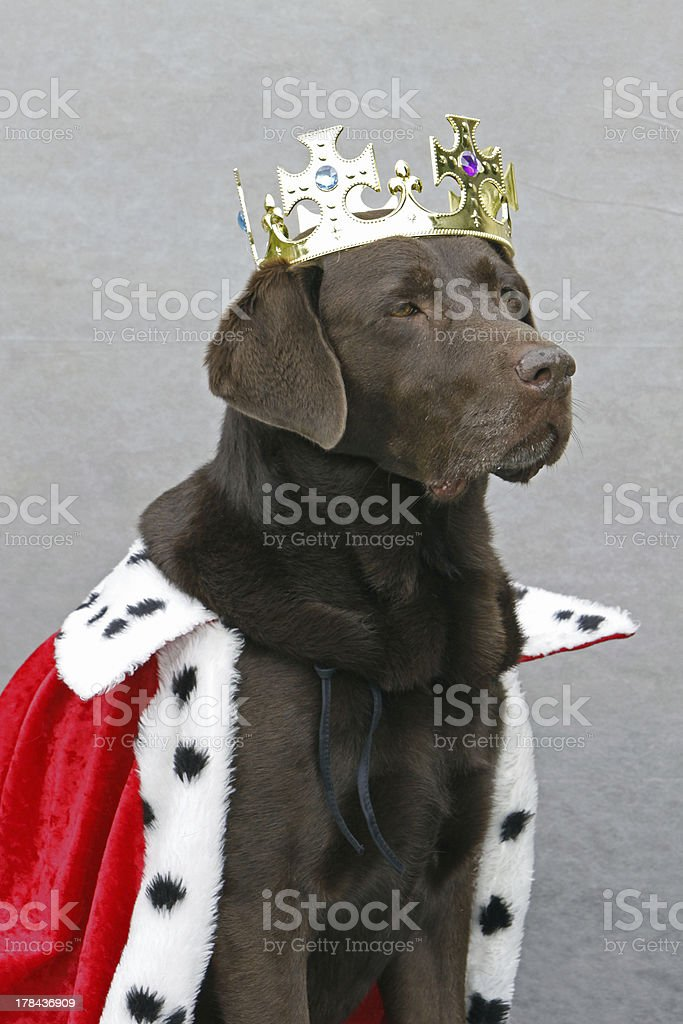 Chocolate Labrador dressed as King stock photo